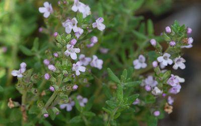 Thymus vulgaris - Gewürz-Thymian