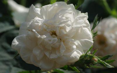 Rosa alba Maxima - Jakobiter-, Historische Strauch-Rose