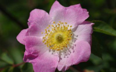 Rosa pendulina Bourgogne ® - Strauch-, Burgunder-Rose