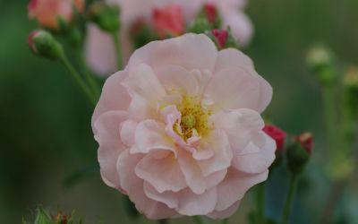 Rosa Moschata-Hybride Cornelia - Strauch-, Moschus-Rose