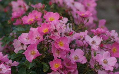 Rosa Fortuna ® - Floribunda-, Beet-, Bodendecker-Rose