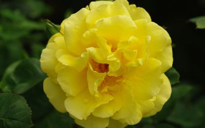 Rosa 'Golden Gate' ® - Kletter-Rose