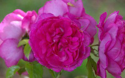 Rosa Laguna ® - Nostalgische Kletter-Rose