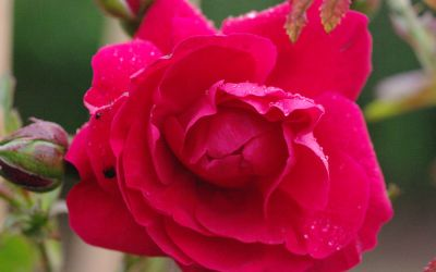 Rosa Tradition ® - Kletter-Rose
