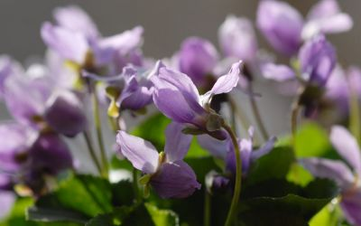 Viola odorata Hans-guck-in-die-Luft - Duft-Veilchen