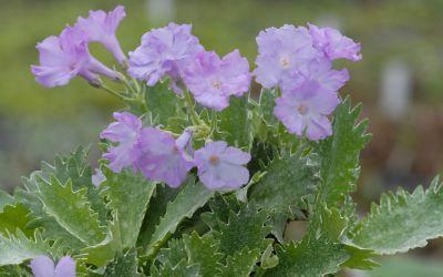 Primula marginata Crenata - Gewelltrandige Primel, Seealpen-Primel