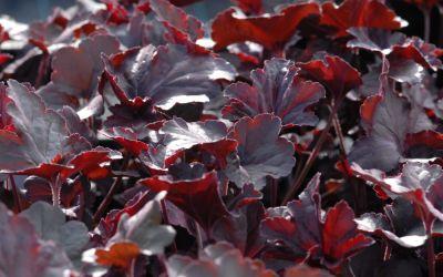 Heuchera Hybride Obsidian ® - Schwarzlaubiges Purpurglöckchen