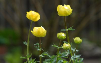 Trollius x cultorum 'Lemon Queen' - Trollblume