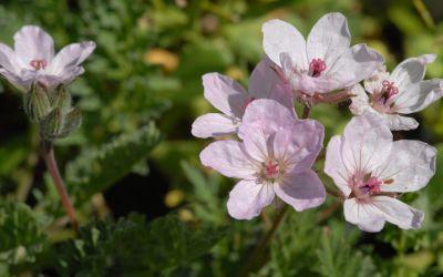 Erodium absinthoides var. amanum - Reiherschnabel