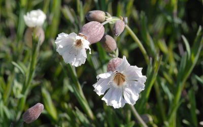 Silene uniflora Compacta - Leimkraut