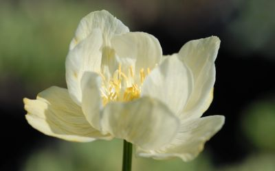 Trollius x cultorum New Moon - Trollblume