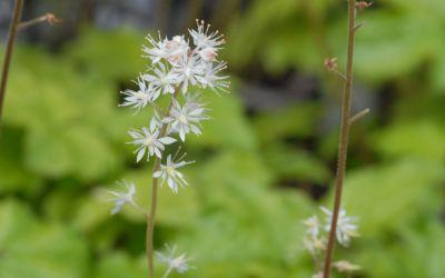 Tiarella cordifolia Eco - Schaumblüte