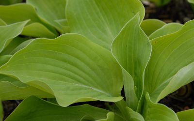 Hosta Hybride August Moon - Gold-Funkie