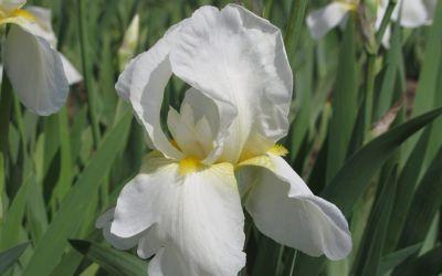 Iris barbata-elatior Lugano - Hohe Bart-Iris, Schwertlilie
