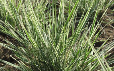 Arrhenatherum elatius ssp. bulbosum Variegatum - Weißbunter Glatthafer