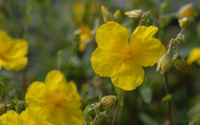 Helianthemum Hybride Golden Queen - Sonnenröschen