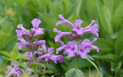 Stachys grandiflora Superba - Großblütiger Purpur-Ziest