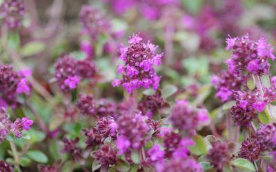 Thymus praecox Purpurteppich - Rundblättriger Garten-Thymian
