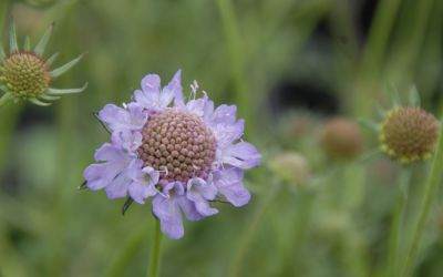 Scabiosa japonica var. alpina - Japanische Berg-Skabiose