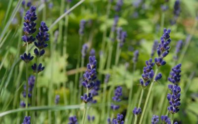 Lavandula angustifolia Hidcote Blue - Garten-Lavendel