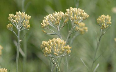 Helichrysum italicum Silbernadel - Currykraut, Strauch-Strohblume