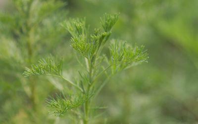 Artemisia procera  - Spezi-Pflanze, Wohlriechende Eberraute