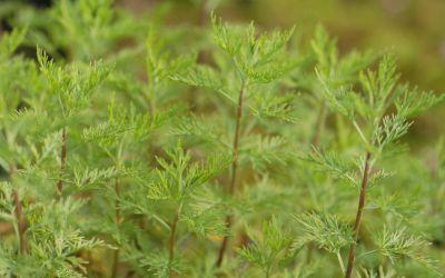 Artemisia abrotanum Citrina - Zitronen-Eberraute