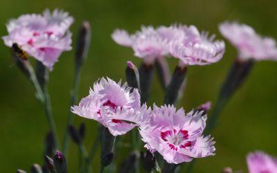 Dianthus plumarius Nanus Sweetness - Kleine Feder-Nelke