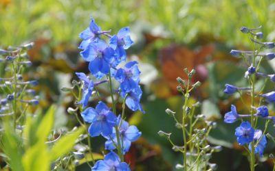 Delphinium Belladonna-Hybride Piccolo - Halbhoher Rittersporn