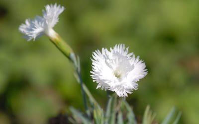 Dianthus gratianopolitanus Ohrid - Pfingst-Nelke