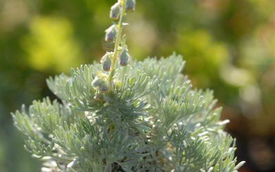 Artemisia schmidtiana Nana - Polster-Silberraute