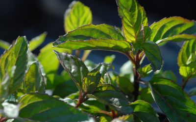 Mentha x piperita var. citrata Bergamotte - Bergamotte-Minze