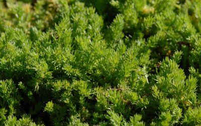 Chamaemelum nobile Treneague - Blütenlose Teppichkamille