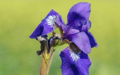 Iris sibirica Gesas Dunkelviolette - Wiesen-Schwertlilie