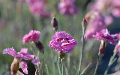 Dianthus plumarius Maggie - Feder-Nelke
