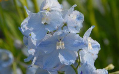 Delphinium Belladonna-Hybride Ballkleid - Halbhoher Rittersporn