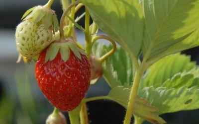 Fragaria x ananassa Korona - Erdbeere