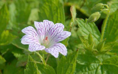 Geranium versicolor  - Storchschnabel