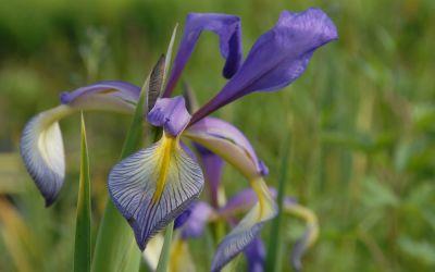 Iris Spuria-Hybride Premier - Steppen-Schwertlilie