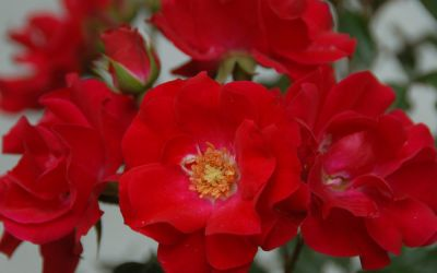 Rosa Rotilia ® - Beet-, Floribunda-Rose