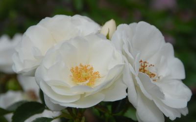 Rosa Innocencia ® - Floribunda-, Beet-, Bodendecker-Rose