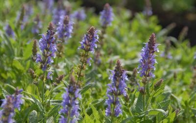 Salvia nemorosa Blauhügel - Garten-Salbei, Steppen-Salbei