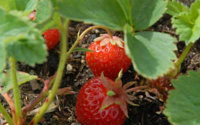 Fragaria x ananassa Sonata ® - Erdbeere