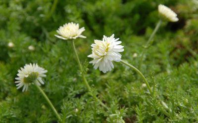Chamaemelum nobile Plena - Gefüllte Teppichkamille