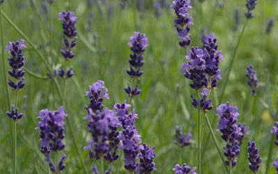 Lavandula angustifolia Imperial Gem - Garten-Lavendel