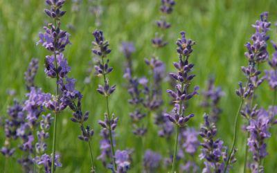 Lavandula angustifolia Siesta - Garten-Lavendel