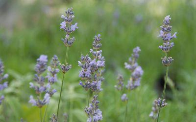 Lavandula angustifolia Munstead - Garten-Lavendel