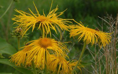 Inula helenium  - Echter Alant
