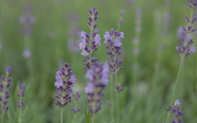 Lavandula angustifolia Lumiére des Alpes - Garten-Lavendel