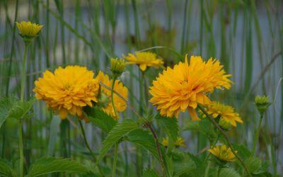 Heliopsis helianth. var. scabra Goldgrünherz - Sonnenauge